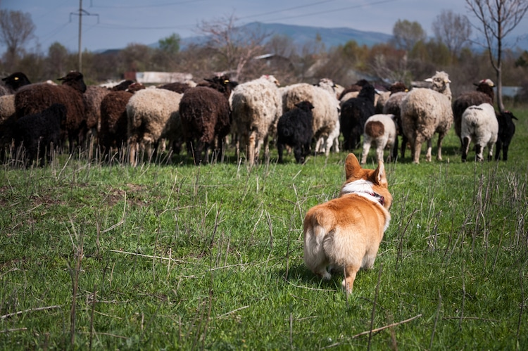 Welsh Corgi Ready to Herd Sheep