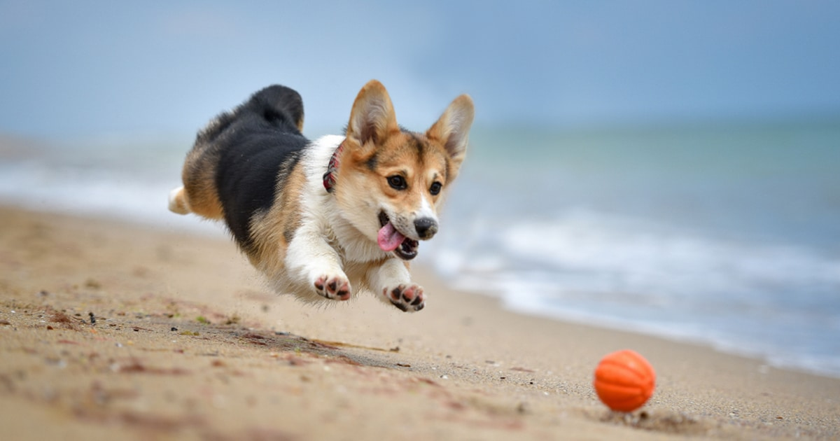 10 Fun Facts About Corgis The Pint Size Dog Full Of Energy