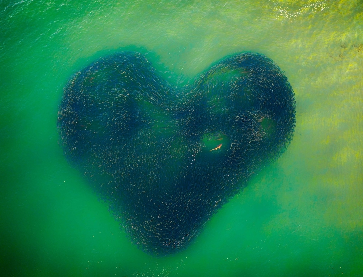 Heart-Shaped School of Salmon