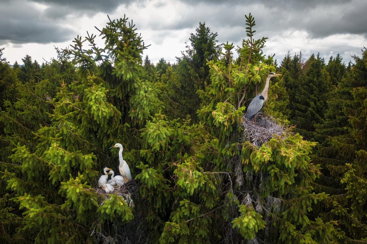 Herons Nesting in Tree Tops