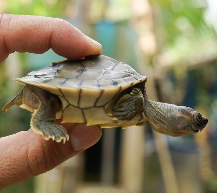 Baby Burmese roofed turtle