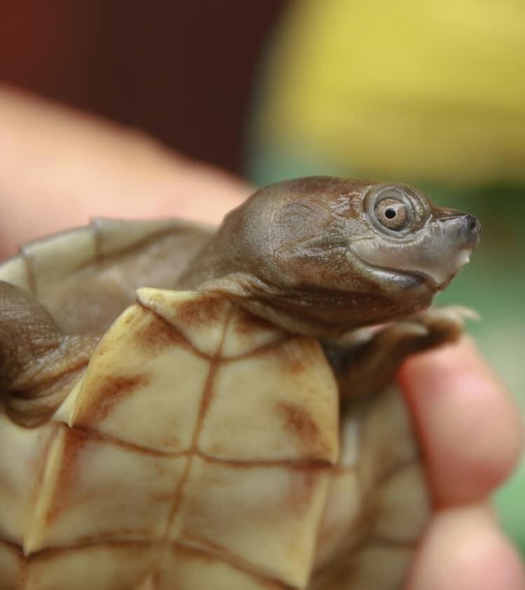 Burmese roofed turtle