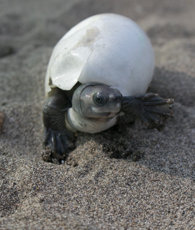 Burmese Roofed Turtle Hatching