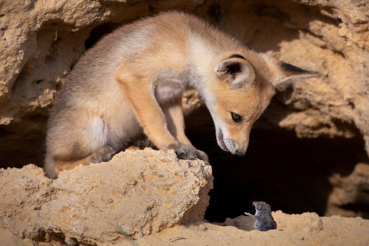 Fox in Israel Staring Down a Mouse