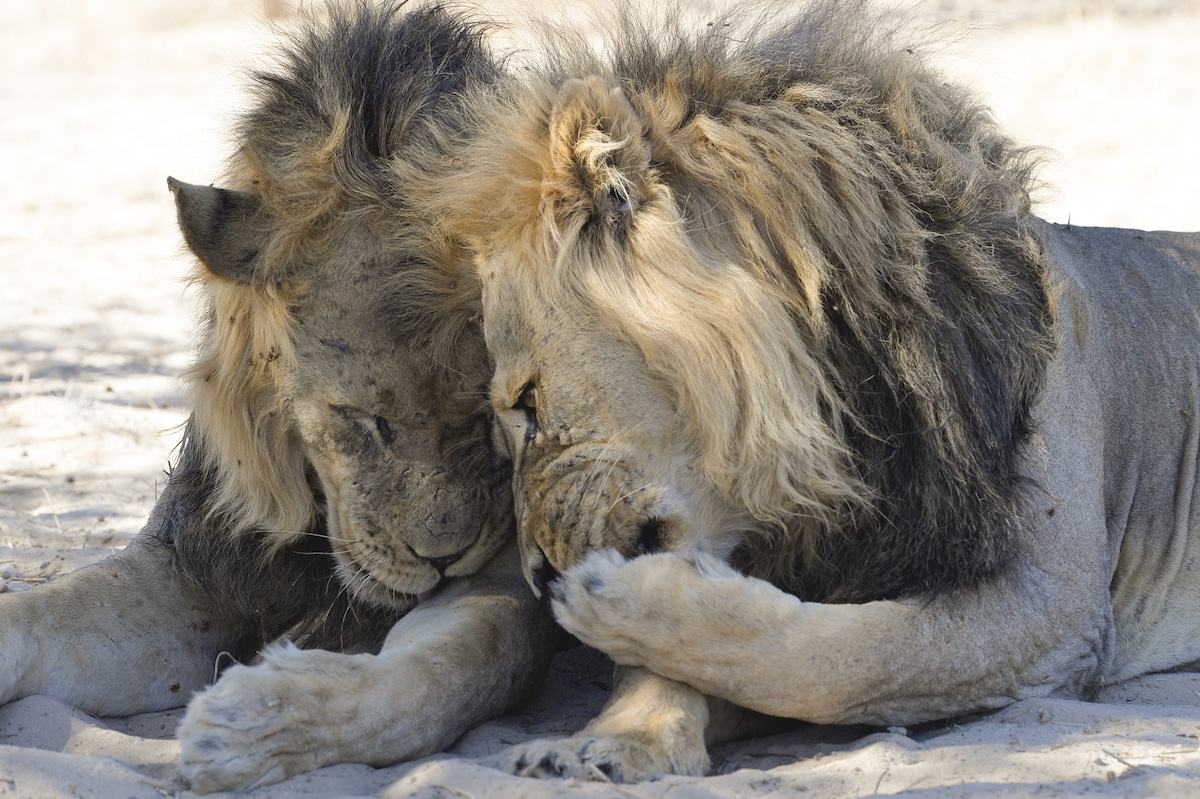 Two Lions in the Kalahari Desert