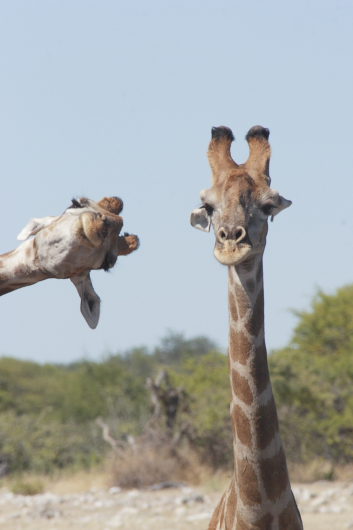 Two Giraffes at the Etosha National Park