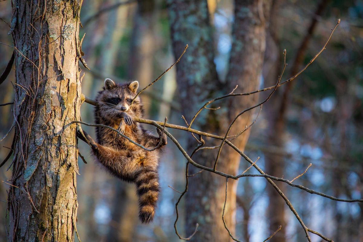 Racoon Hanging from a Branch