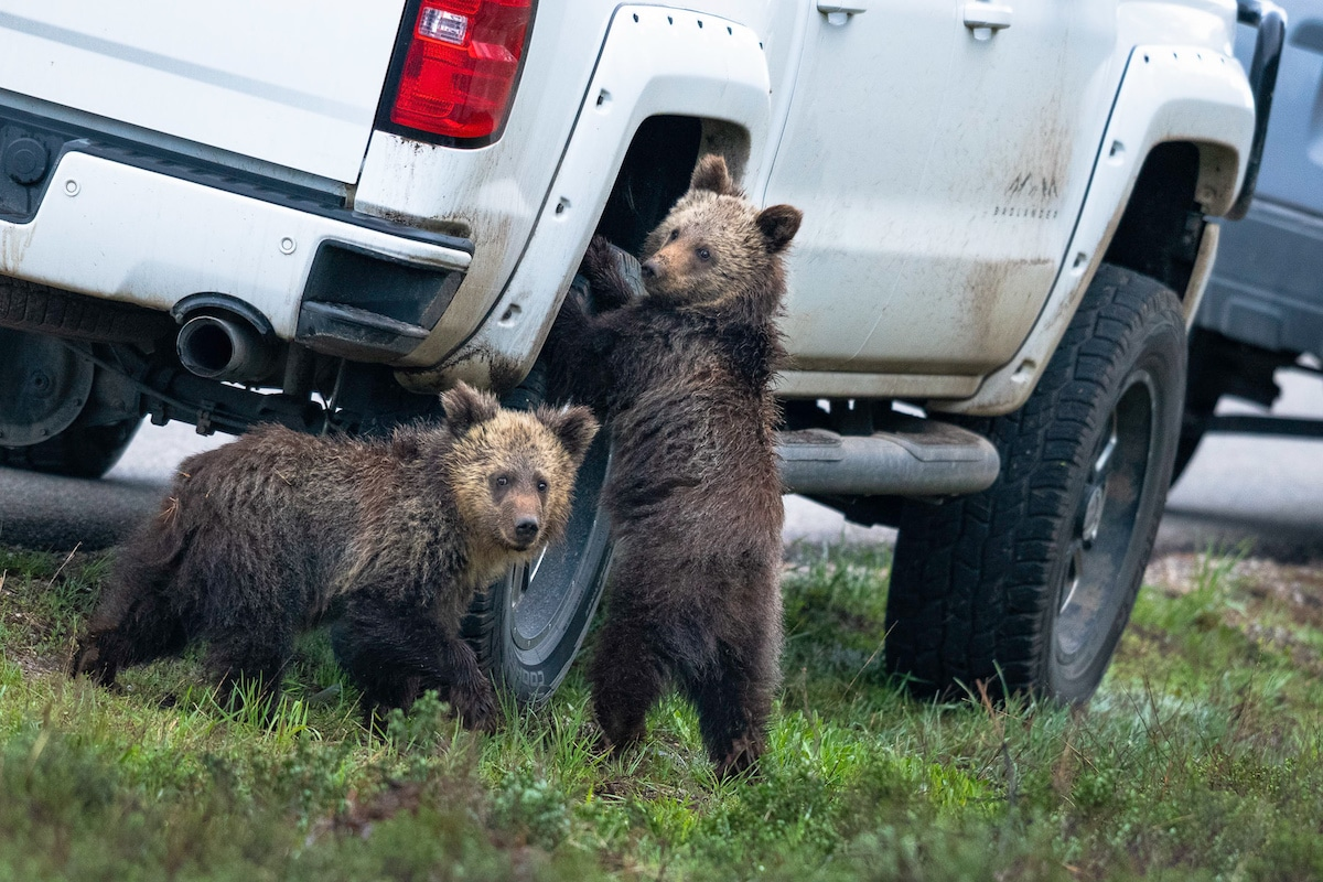 Grizzly Bears at the Grand Teton National Park