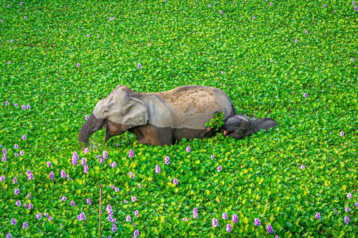 Elephant and Her Calf Eating Hyacinth