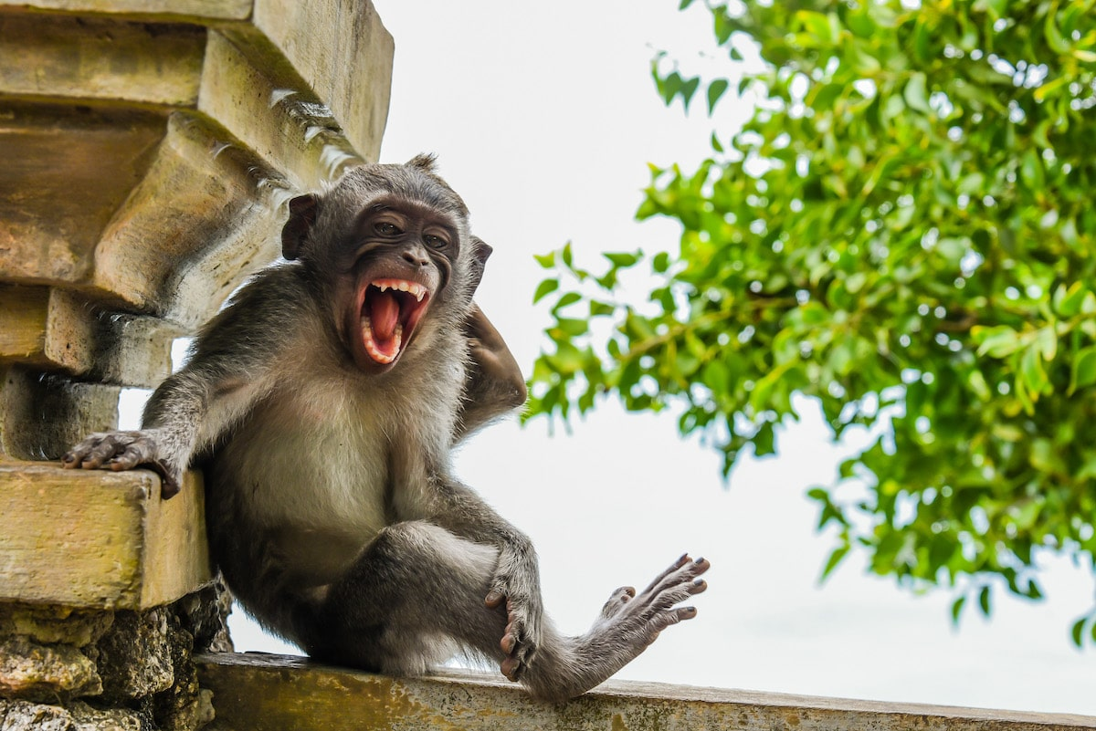 Macaque in Bali