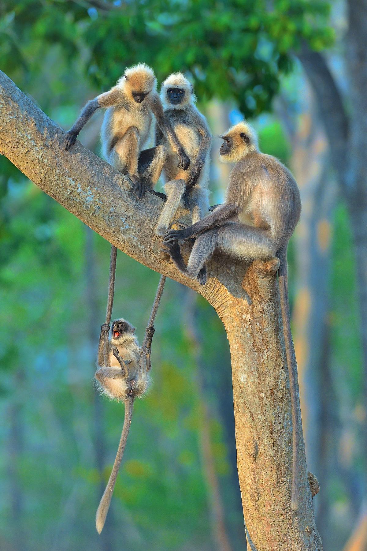 Langur en India