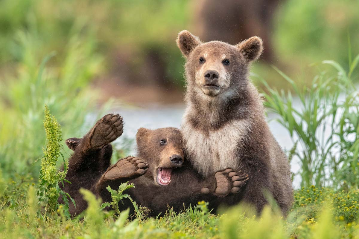 Brown Bears at Kuril Lake, Kamchatka