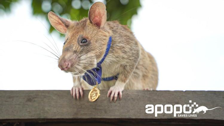 Magawa Landmine Detecting Rat