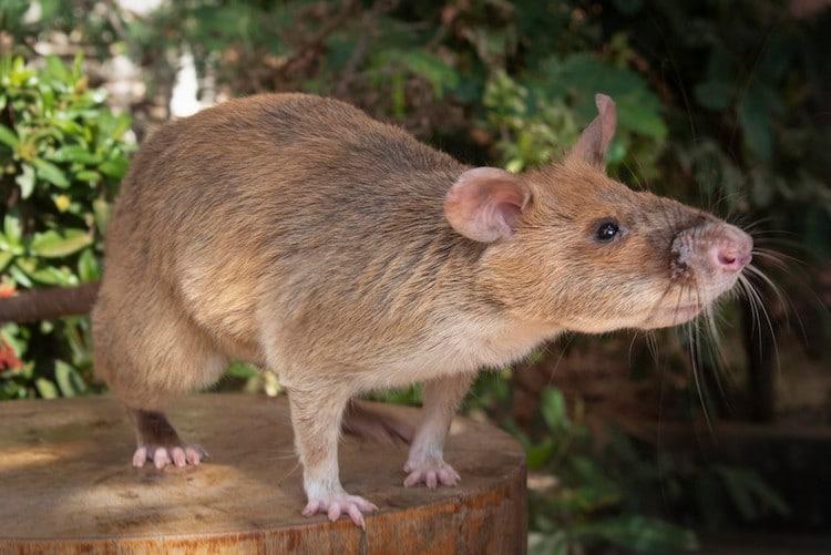 Explosive Detection Rat