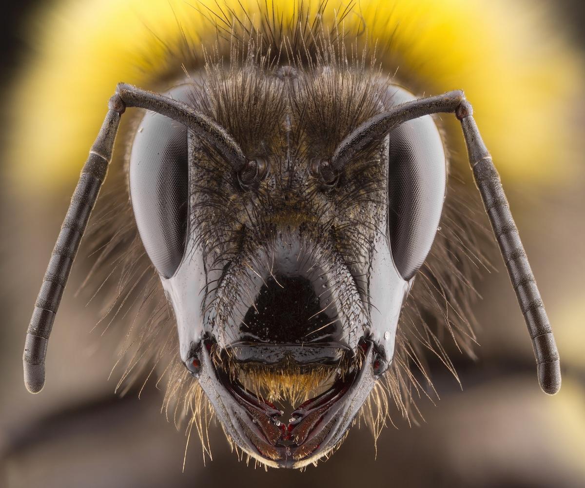 Foto macro de un abejorro