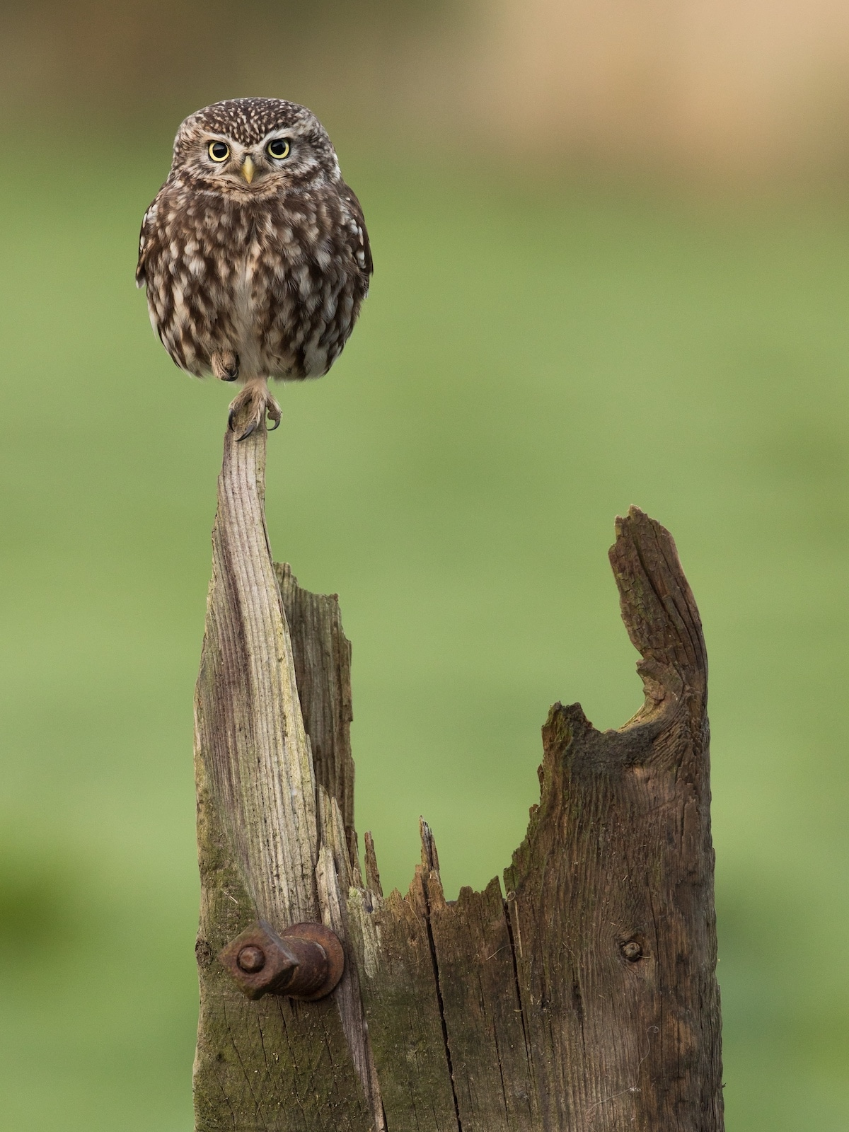 Little Owl Balancing on a Wood Pole