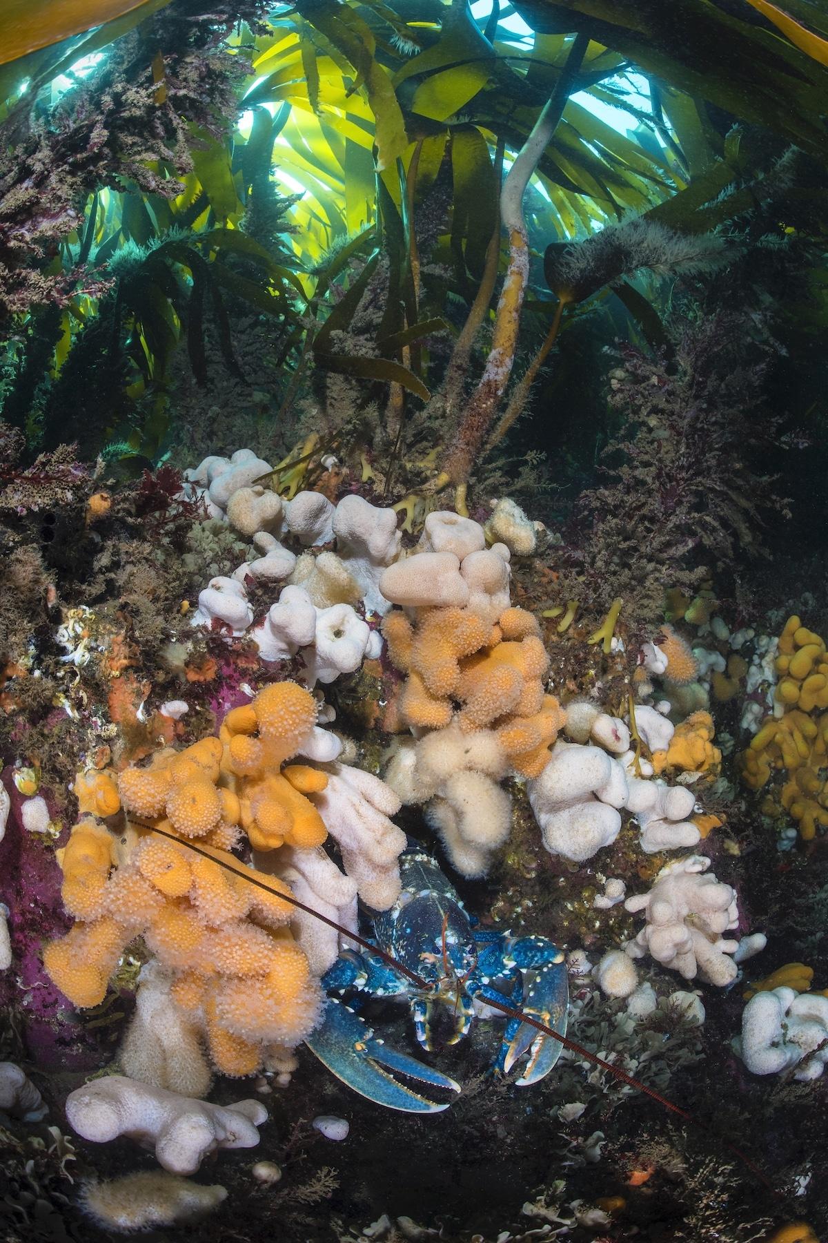 Blue Lobster Emerging from Kelp