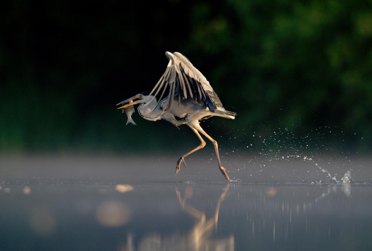 Garza caminando sobre el agua