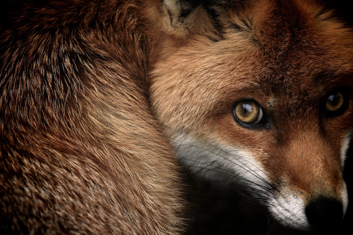 Close Up Portrait of a Curled Up Fox