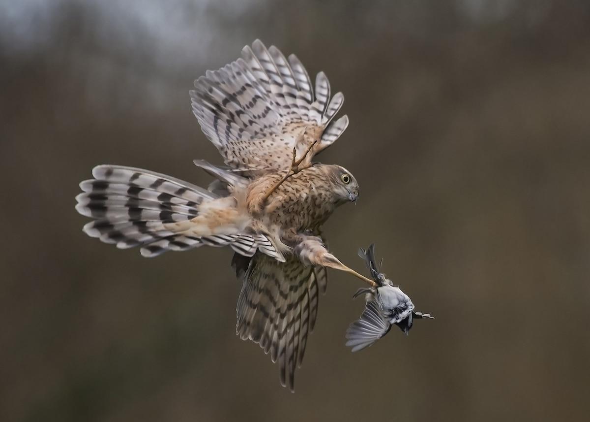 Gavilán atrapando un pájaro