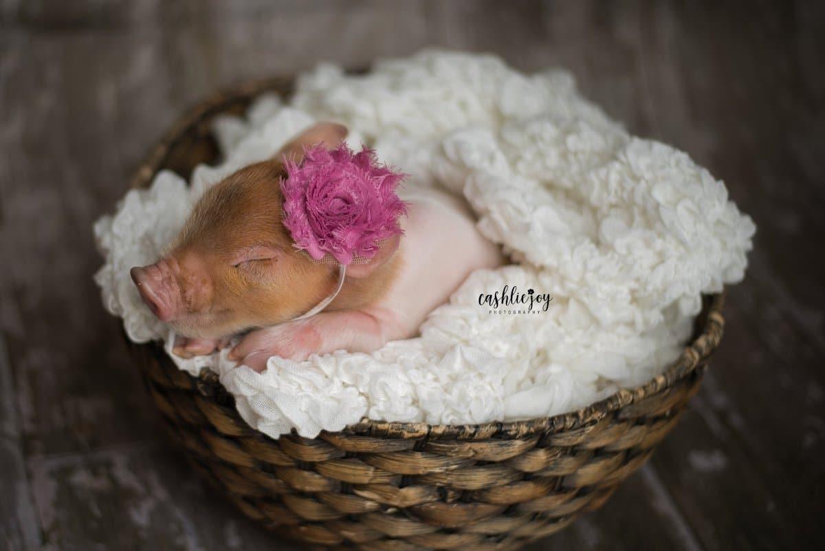 Cute Baby Pig Photos