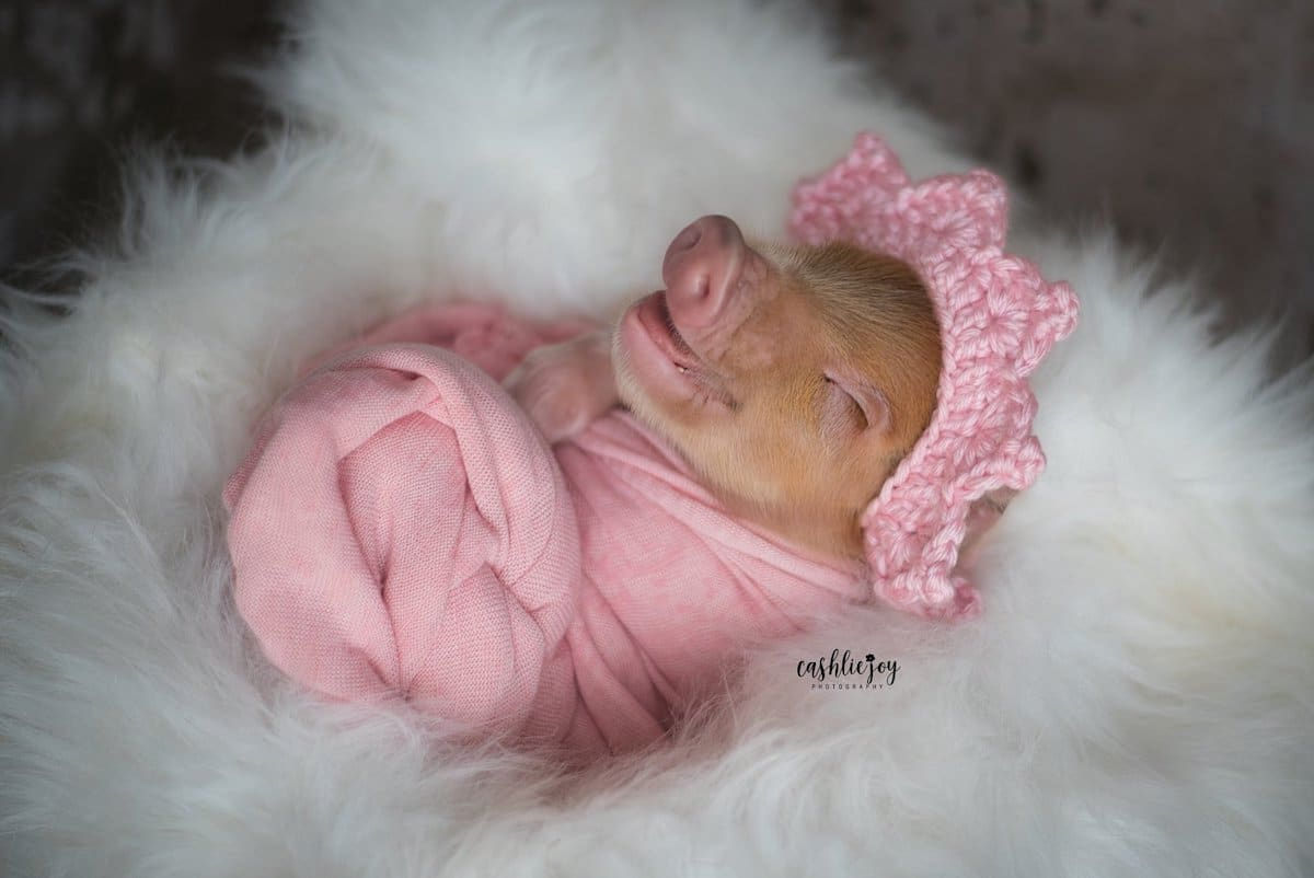 Newborn Photoshoot With a Baby Pig