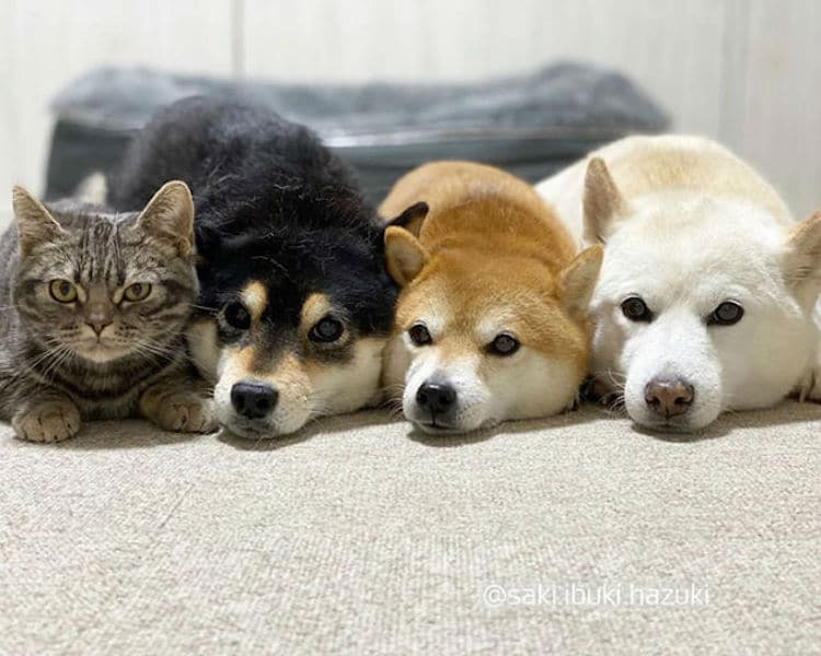 Cat with Shiba Inu Siblings