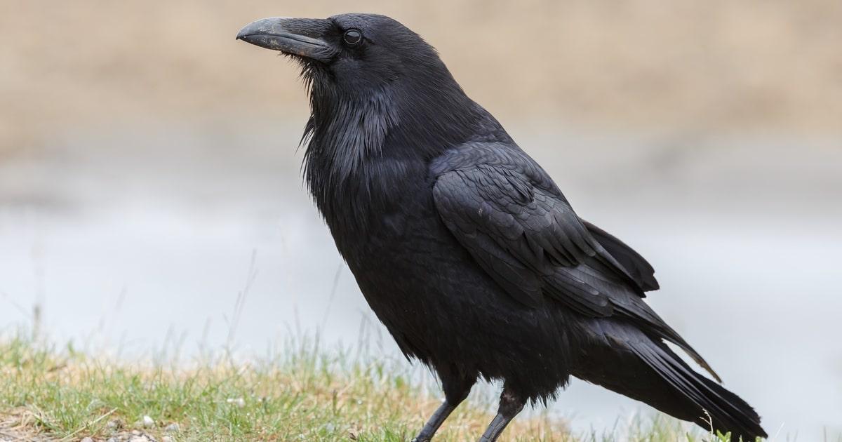 Crow-intelligence-thumbnail