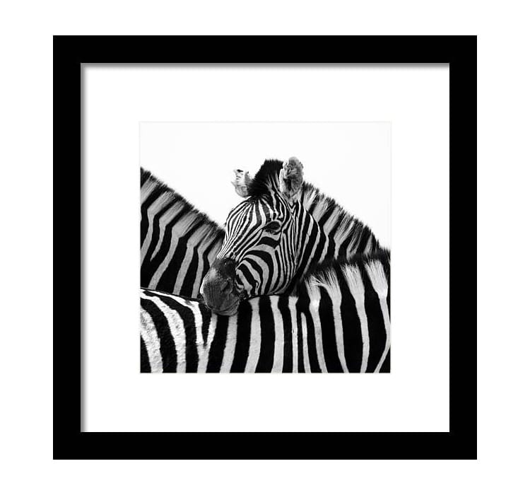 Black and White Photo of a Zebra Framed Print