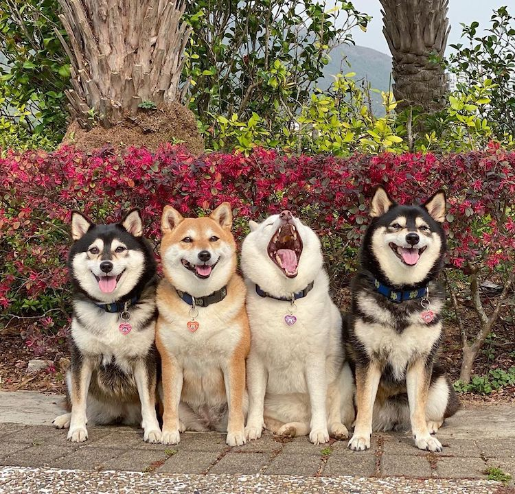 Funny Shiba Inu Ruins Group Photos