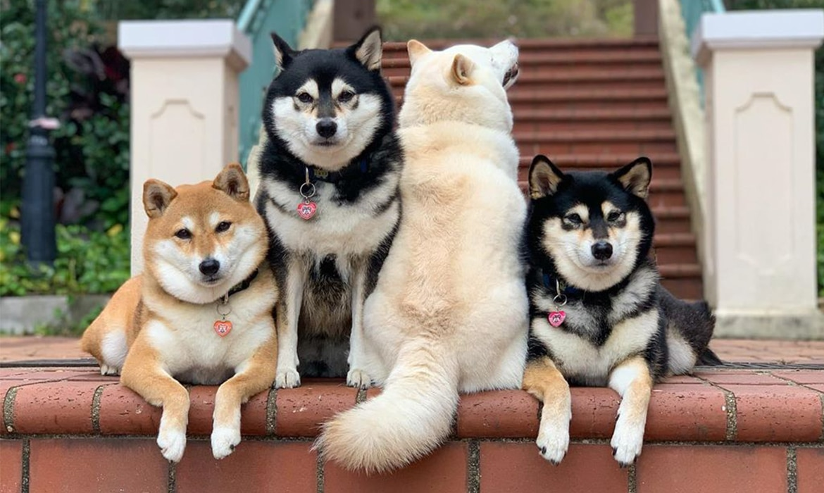 Shiba Inu in different colors