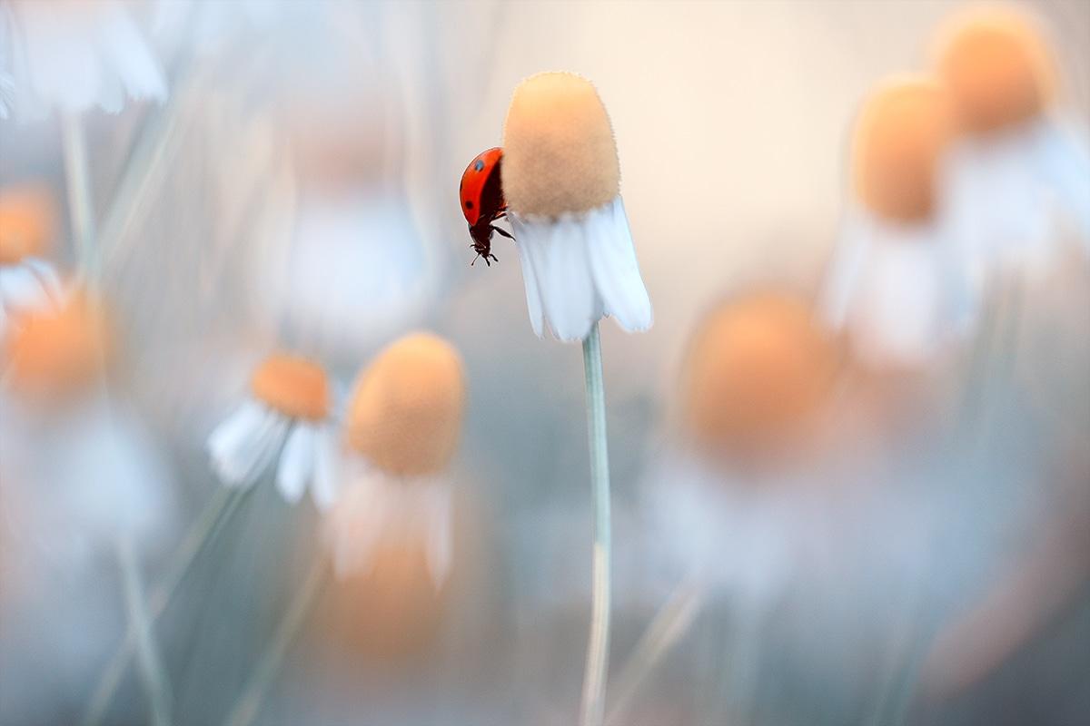 Macro Photo of a Ladybug on a Flower