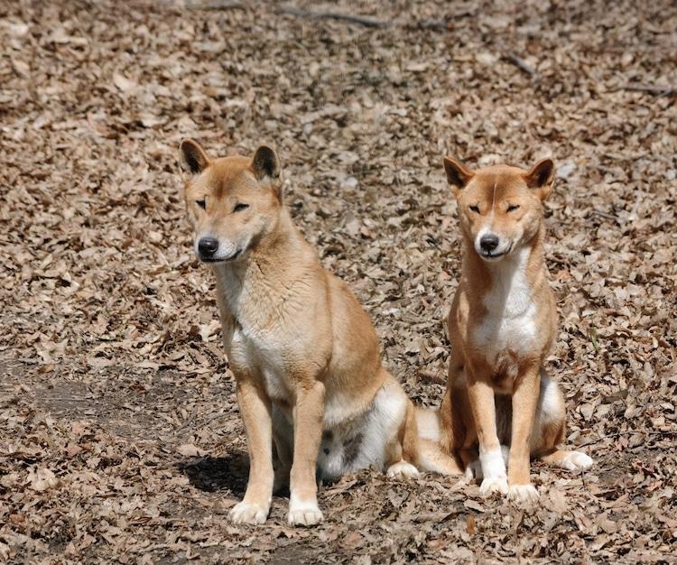 Couple of New Guinea Singing Dog