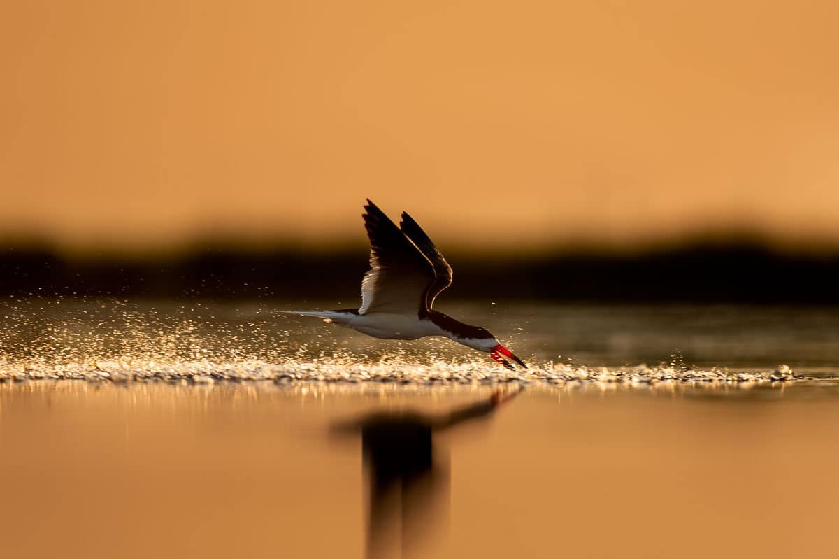 Black Skimmer Chasing Minnows