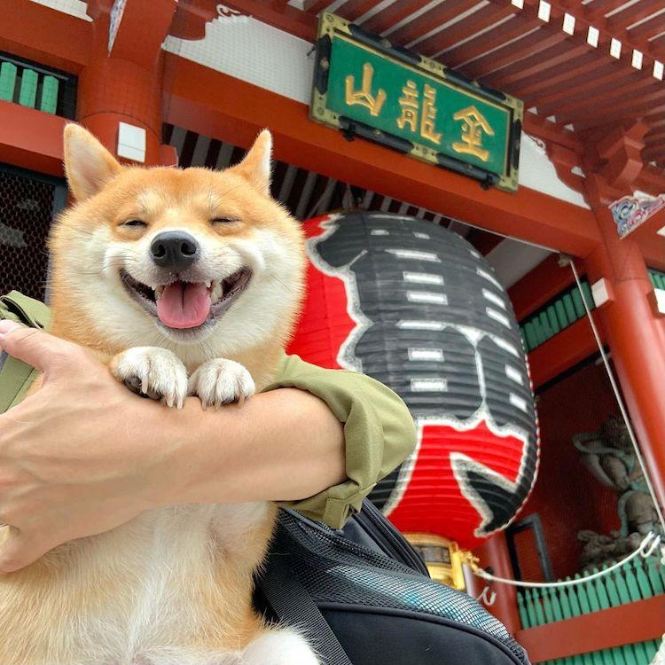 Shiba Inu sonriendo