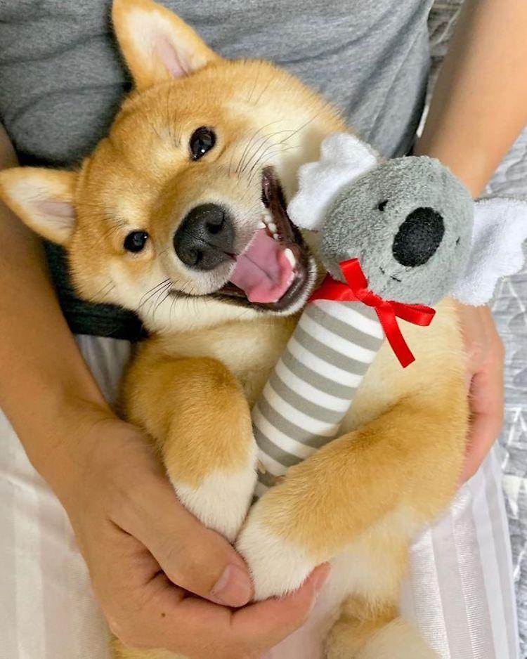 Uni, el perro japonés que siempre está sonriendo
