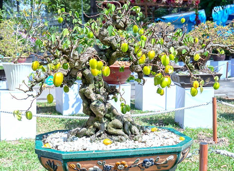 bonsai carambola
