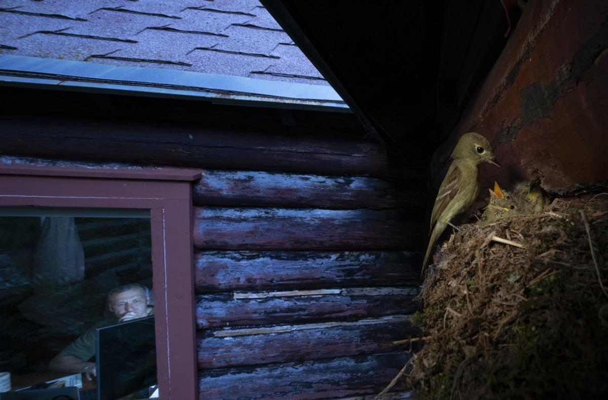 Cordilleran flycatcher in Nest Outside a House
