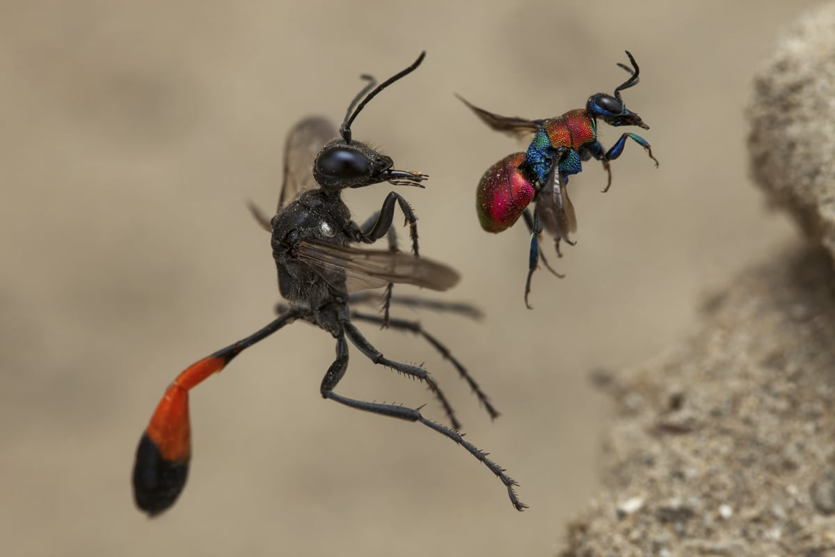 Red-banded sand wasp and cuckoo wasp