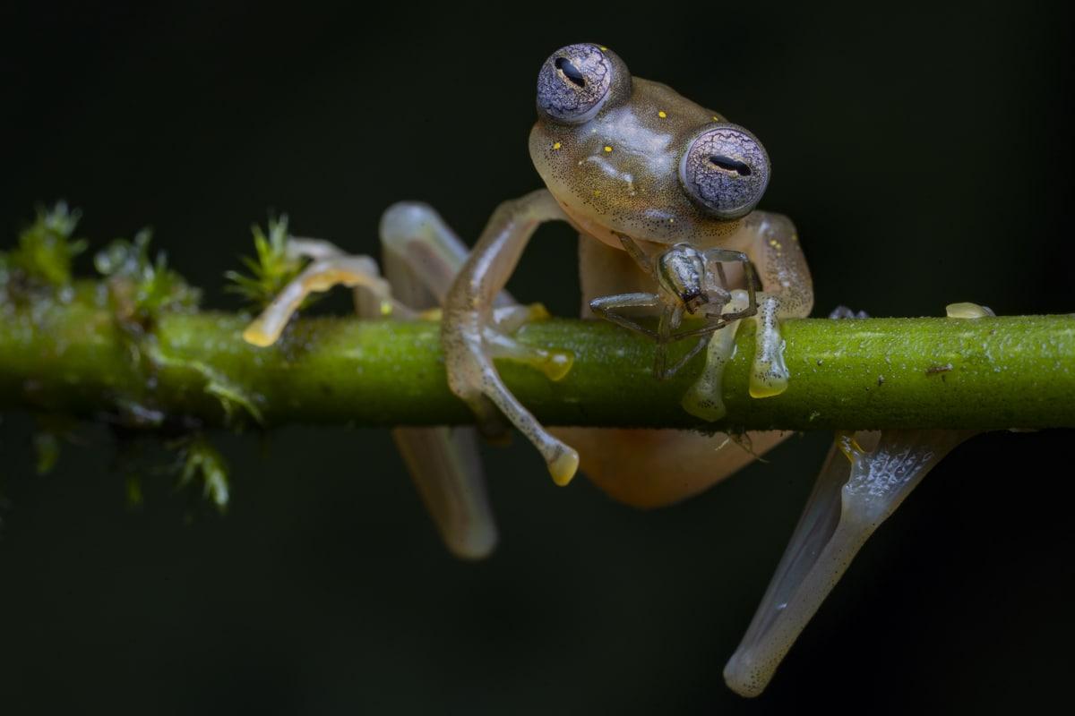 Manduriacu glass frog clinging to a plant