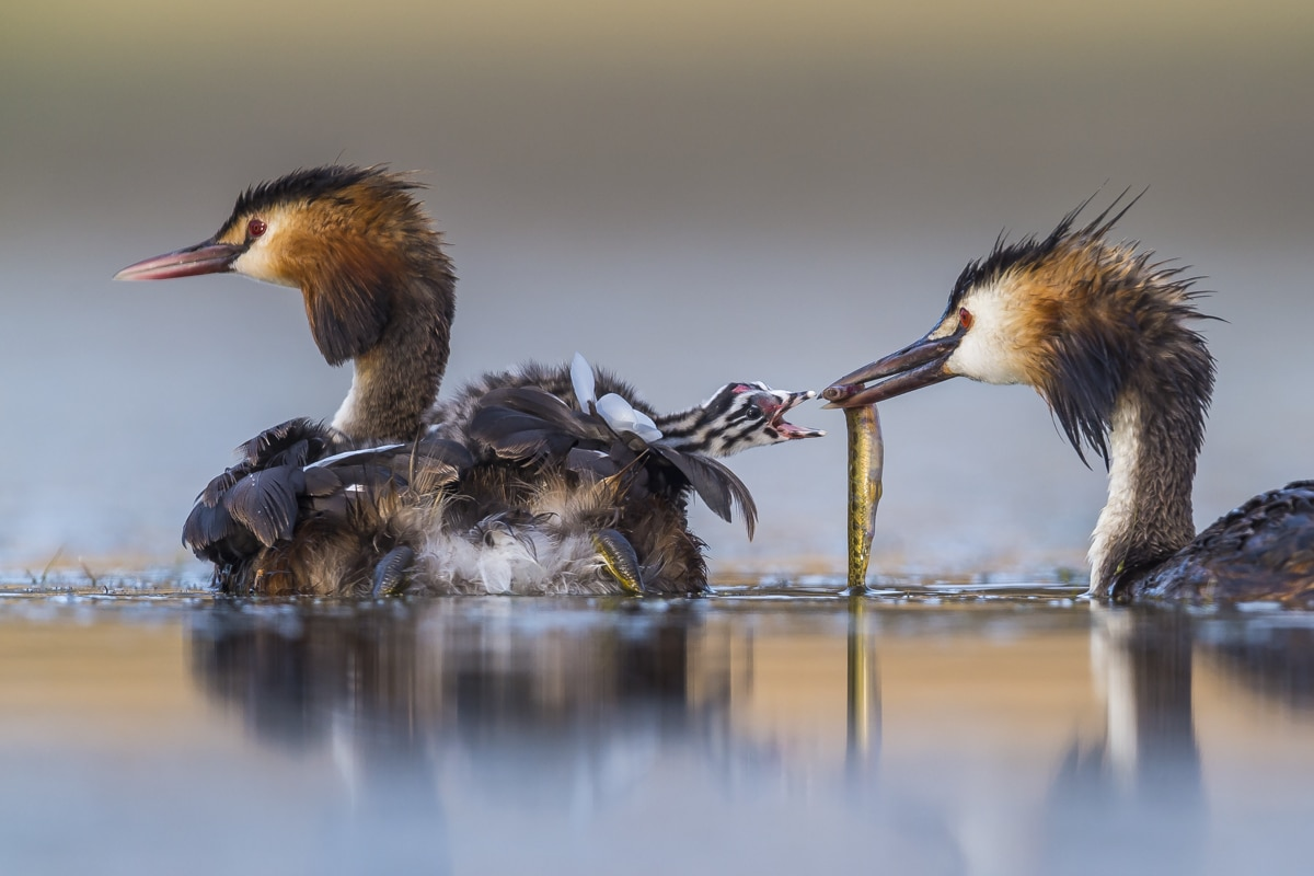 Great Chested Grebe Family