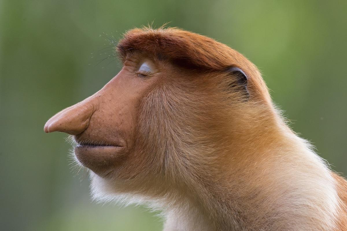 Young Male Proboscis Monkey