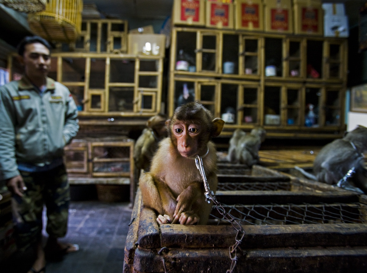 Young Pig-Tailed Macaque Chained to a Wooden Cage in Bali