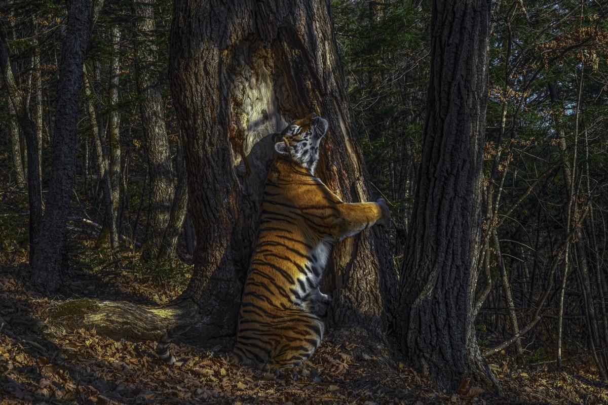 Siberian Tigress Hugging a Manchurian Fir Tree
