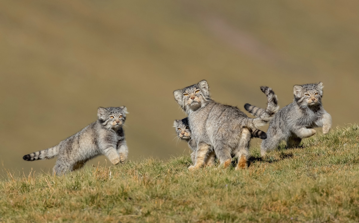 Pallas's cats on the Qinghai–Tibet Plateau in China