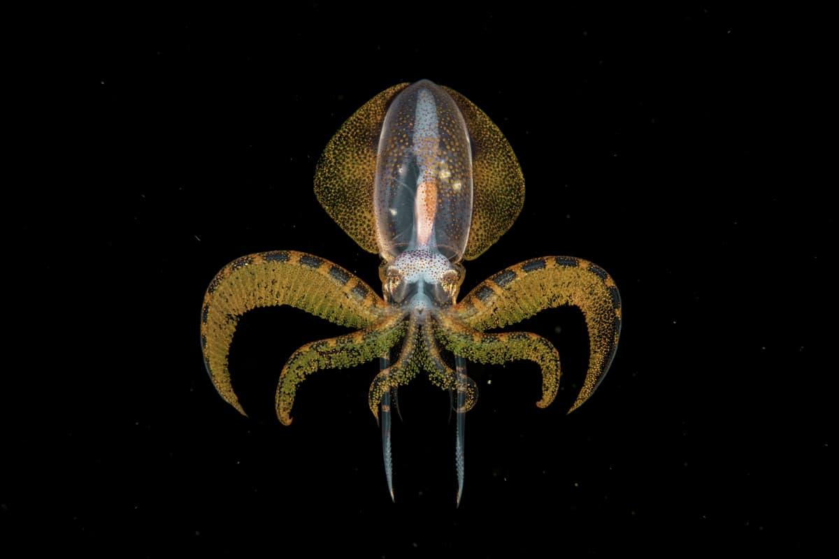 Diamondback Squid Paralarva