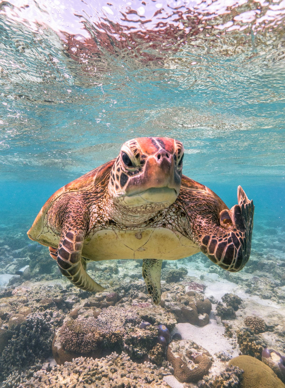 Turtle at Lady Elliot Island Flipping the Bird