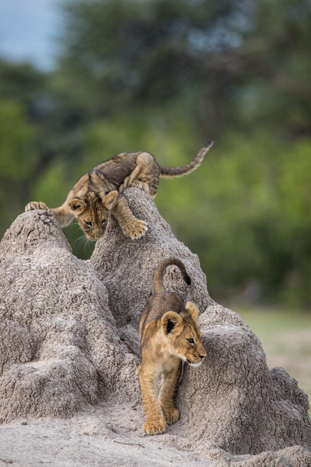 African Lion Cubs on a Termite Mound