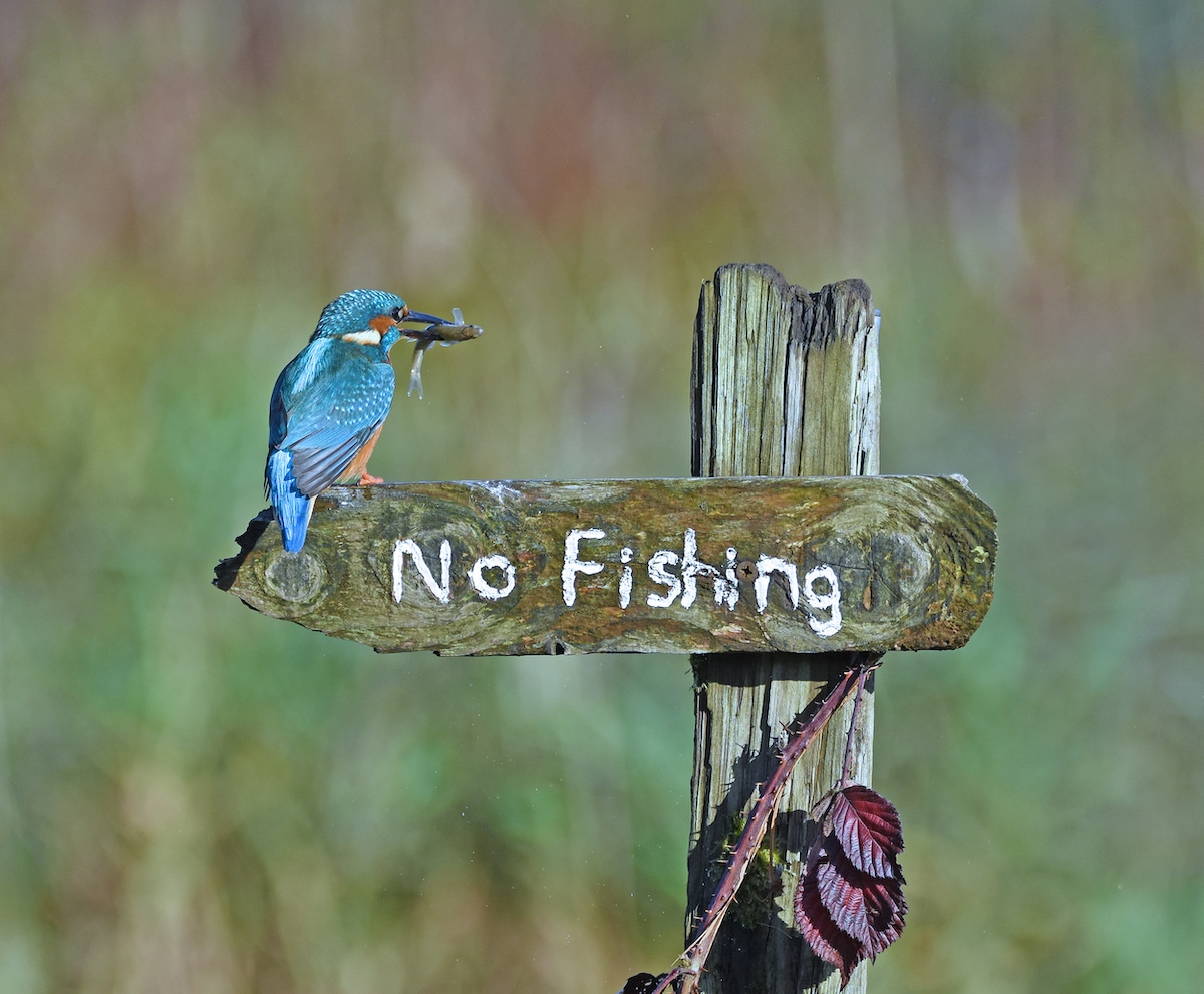 Kingfisher with Fish in its Mouth on a 'No Fishing' Sign