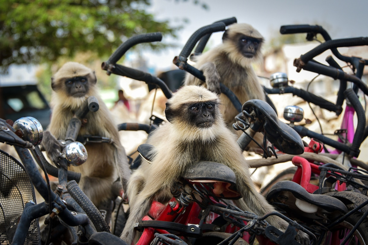 Langurs on Bikes in India